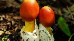Как опознать цезарский гриб или Amanita caesarea