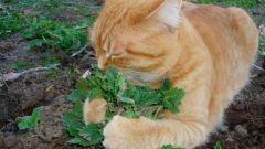 Кошачья мята и кошки