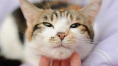 Как кошки мурлыкают