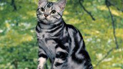 Породы кошек: азиатская табби