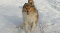 """Как научить собаку командам - """"Голос"""", """"Сидеть"""", """"Лежать"""""""
