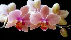 Орхидея, цвети!