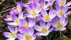 Как высаживать первоцветы