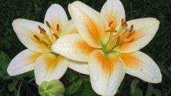 Целебные лосьоны из лепестков лилии