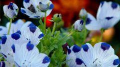 Немофила - идеальное бордюрное растение