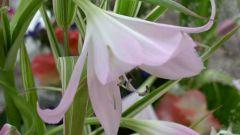 Кринум - комнатная лилия