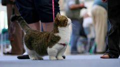"""Манчкин - """"кошка-такса"""""""