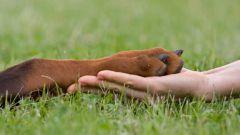 Как научить собаку давать лапу