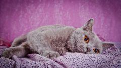 Какой характер у кошек британской породы