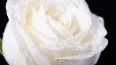 What is the meaning of white roses