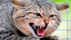 Почему кошка шипит