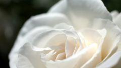 Какое значение у белой розы