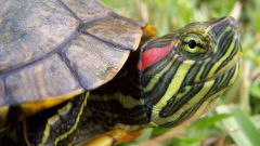Proper maintenance of the red-eared terrapins