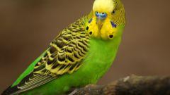 Какие есть породы говорящих попугаев