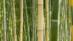 С какой скоростью растет бамбук
