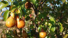 Почему чернеют листики у молодой груши