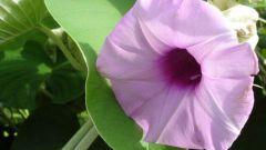 Чем знамениты семена гавайской розы