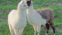Как из шерсти овец делают одежду