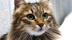 Какие кошки гипоаллергенные