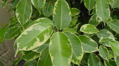 Почему опадают листья у фикуса