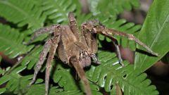 Какой самый ядовитый паук в мире