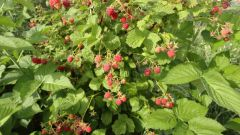 When to plant raspberry bushes, and currants