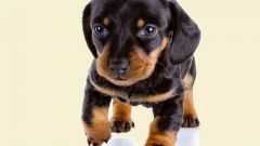 How much is the puppy Dachshund