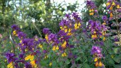 Почему полевой цветок называется