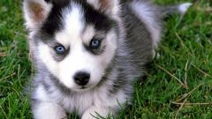 How much is a dog husky