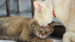 Надо ли стерилизовать кошку?