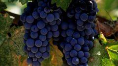 Насколько калориен виноград