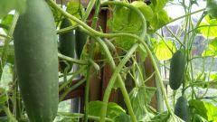 Than fertilize cucumbers