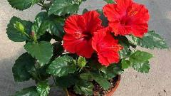 Why hibiscus (China rose) not to keep the house