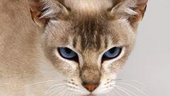 Какие признаки первой течки у кошки