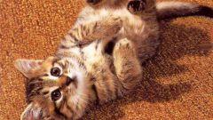 Почему у котенка гноится глаз