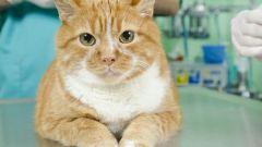 Как кастрировать кота в домашних условиях