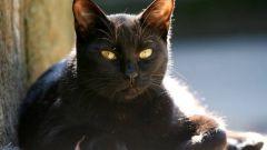 К чему пришла в дом черная кошка