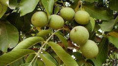 Как вырастить грецкий орех на дачном участке