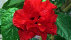 Китайская роза - цветок смерти