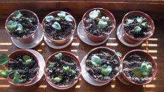 Как самостоятельно вырастить цикламен из семян