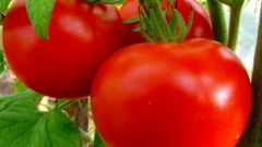 Features varieties of tomato