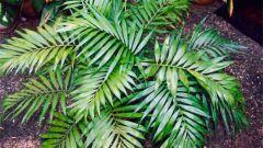 Как ухаживать за пальмой Хамедорея