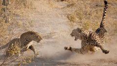 Чем гепард отличается от леопарда