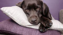 Что делать, если у собаки рвота и понос
