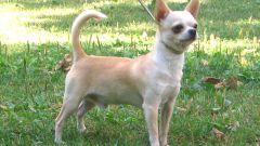 Уход за собакой породы чихуахуа
