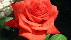 Как слепить из пластилина красивую розу