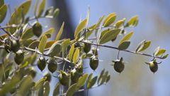 Чем уникально растение жожоба