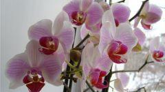 Как лучше всего сохранить орхидею в горшке