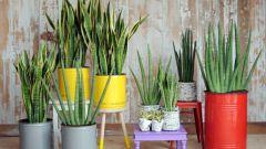 Сансевьера: выращиваем дома