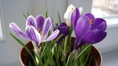 Крокус – предвестник весны